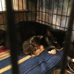 Mama Lue - Sweet Semi Feral taking care of her five tiny 4 week old babies. She and her babies were found on 9/10/16 after 2 very bad rain storms. We will return Mama to her community.